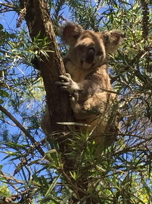 Tuula Jääskeläinen blog koala